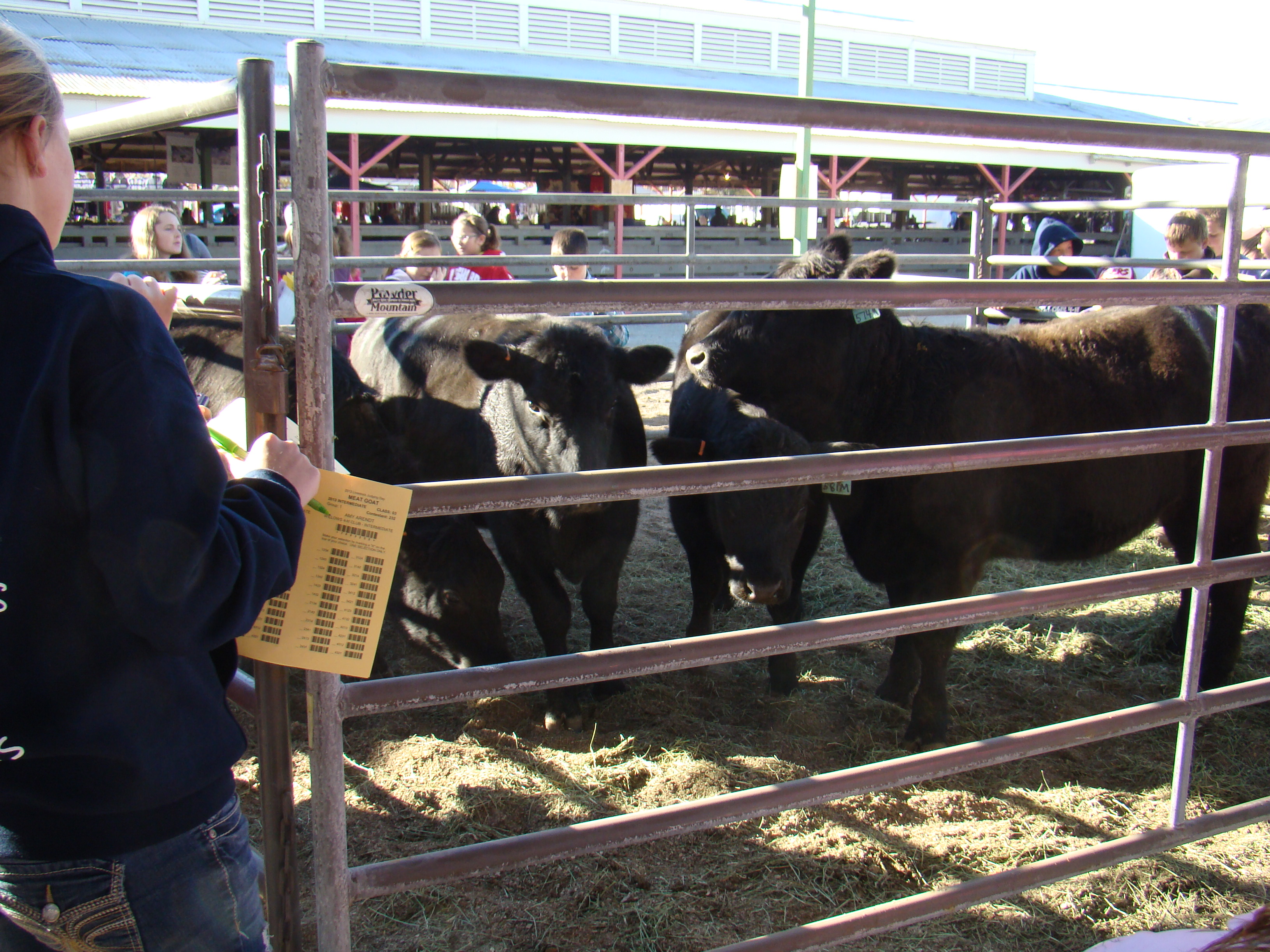 4-H Member judging the beef class